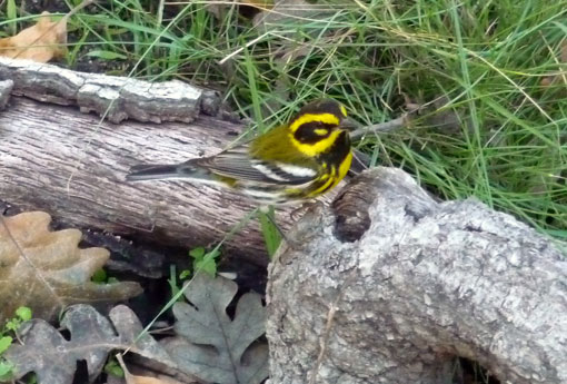 Townsend's Warbler in the Garden